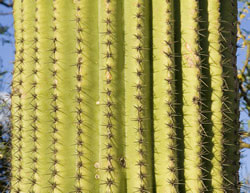 Saguaro trunk picture