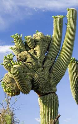 Saguaro cactus cristate