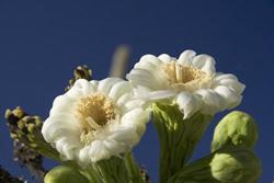 Saguaro Cactus Flower Picture
